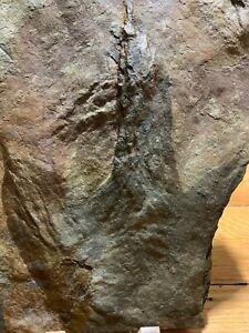 Jurassic Dilophosaurus Dinosaur Footprint Eubrontes Track for Sale!