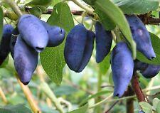 200Pcs Lonicera Caerulea Berry Seeds Organic Honeyberry, haskap berry seeds