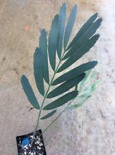 Encephalartos Dolomiticus 2 Leaves ULTRA RARE Ice Blue Cycad Nursery