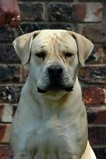 A Boerboel South African Mastiff Dog Journal : 150 Page Lined Notebook/Diary...