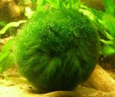 Marimo Moss 3 Balls 1.6 inch (4cm) (Cladophora) Live Plant Aquarium Tank In Usa
