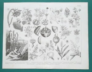 BOTANY Plants Cactus Fuchsia Chestnut Brazil Nut Myrtle - 1870 Antique Print