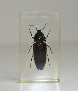 Echte Insekten / Präparat Pracht Käfer im Acrylblock / Harz / Mini Biester #