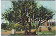 A RUBBER TREE - Florida - United States - c1900s era postcard