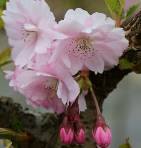 Frühe Zierkirsche 60-80cm - Prunus Accolade