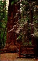 Vtg 1950's Colonel Armstrong Redwood Tree, Guerneville California CA Postcard