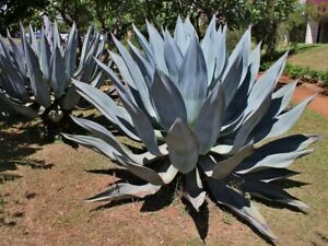 Century Plant   Agave americana   10 Seeds   (Free US Shipping)
