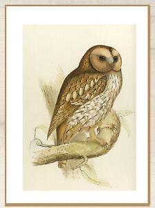 "Vintage art poster owl night bird Australia gould painting for glass frame 36"""