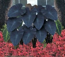 """Black Magic"" Colocasia / Elephant Ear / Taro - LARGE 1 GALLON SIZE"
