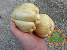 2Lbs+ Chayote, Vegetable Pear, Mirliton by Prorganics
