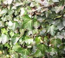 Efeu Kletterpflanzen