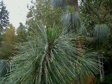 Yunnan pine (Pinus yunnanensis) 30 seeds