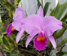 Cattleya species-Cerro Verde-Cattleya trianae aquinii 'Jaramillo'