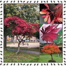 Full Moon Maple - Acer Japonicum Aconitifolium (15+ viable seeds per package)