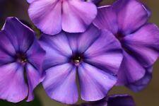 250 Dwarf Beauty Blue Phlox Drummondii Nana Compacta Fragrant Flower Seeds +Gift