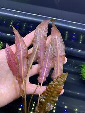 New listing Crypt Wendtii (Cryptocoryne 'Red') -Buy3Get1Free-Live Aquarium Plant AquaScape