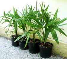 Piante di Palma -Trachycarpus altezza 35-45 cm palme resistenti al freddo