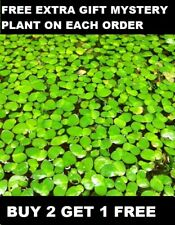 50 Pieces Of Giant Duckweed Spirodela Polyrhiza Live Floating Aquarium Plant