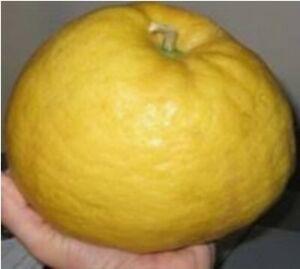Citrus limon PONDEROSA-Pomelo LEMON or Skierniewice lemon Yuma 5+ Organic Seeds