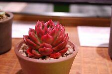 20 Echeveria mixed seeds Rare Cactus Succulent Garden Plant Gift Flower