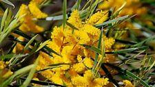 Acacia Acuminata Tree Seeds | Raspberry Jam Wattle | 50+ Seeds per package