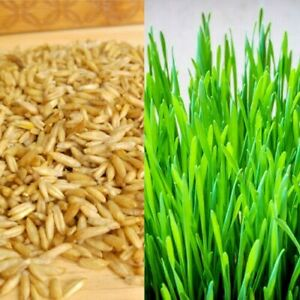 Cat Oat Grass - Pets Love it! Also for dogs, lizards, Tortoise, guinea pigs, etc