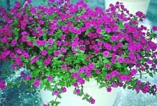 2000+ Wild Petunia Violacea Flower Seeds Garden/Patio Containers Hanging Baskets