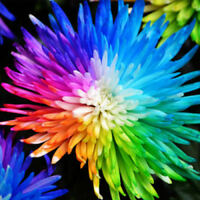100PCS Rainbow Chrysanthemum Flower Seeds rare color Home Garden