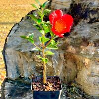 Camellia Sasanqua Yuletide Red Christmas Camellia  Live Plant