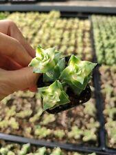 Crassula Perforata Variegata Rare Succulent Plant Shown in 2