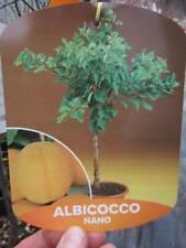 Zwerg-Aprikosenbaum - gelbe-orange süße Früchte - winterharte Pflanze 50-70cm