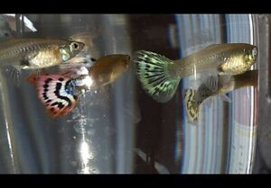 6 female guppies, randomly chosen from Large and Medium of different colors