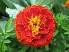 Marigold- Tagetes Patula- Red- 50 Seeds