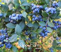 Blueberry Tree Plants Fruit Potted Bonsai Easy To Grow Rare New N 100 PCS Seeds