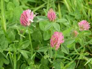 Green Manure Seeds - Wild Flower Red Clover Seeds - 5 gms