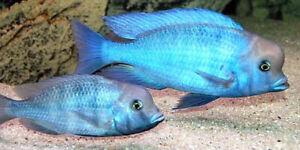 Blue Moorii Lumphead Cichlid Live Fish Aquarium Tanks Aquatics Tropical 4cm