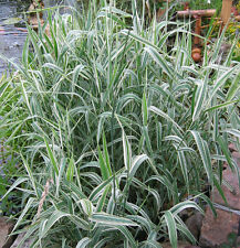Phalaris  ou ruban de bergère- jeune plante - vivace - graminée