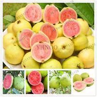 104 Flores Sweet Seeds Plants Guava Psidium Guajava Thai Pink Large Fresh Red