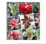 100 MIX seeds  Chinese Evergreen Aglaonema Pink  Mosaic plant Begonia alternativ
