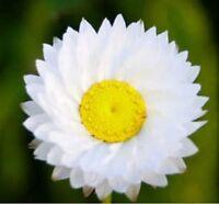 Winged Everlasting- Ammobium- 100 Seeds- BOGO 50% off SALE