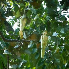 10Pcs Magic Rare Female Ginseng Health Fruit Eggplant Pepino Seed Tree Plant FT