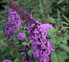 Schmetterlingsstrauch Buddleja davidii 'Camberwell Beauty'  60 - 80 cm im Cont.