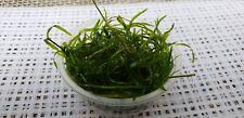 New listing 2 Cups of Guppy Grass Usa Grown Sucks up Ammonia nitrites Healthy