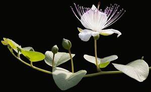30 Samen Echter Kapernstrauch (Capparis spinosa), essbare Kapern ernten, Kaper