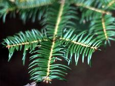 Abies firma JAPANESE FIR Tree Seeds!