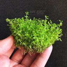 Pearl Weed Clump Micranthemum Micranthemoides Live Aquarium Plant Buy2Get1Free*