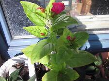~ Wunderblumen-Samen ~ pink ~ 10 SAMEN  ~ Mirabilis jalapa ~ Wunderblume