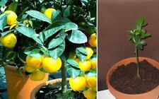 Tolles Geschenk : 2 x winterharter Orangenbaum Pflanzen+ Anzuchterde + Broschüre