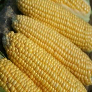 Sweetcorn Earliking 50 seeds - Early cropping variety