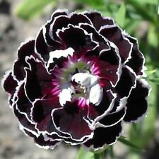 Dianthus Heddewigii Velvet Lace 35 Seeds - Striking Flower